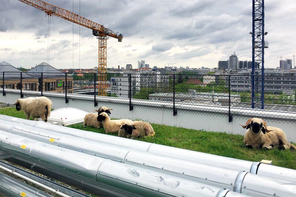 Schafe auf dem Werk 3